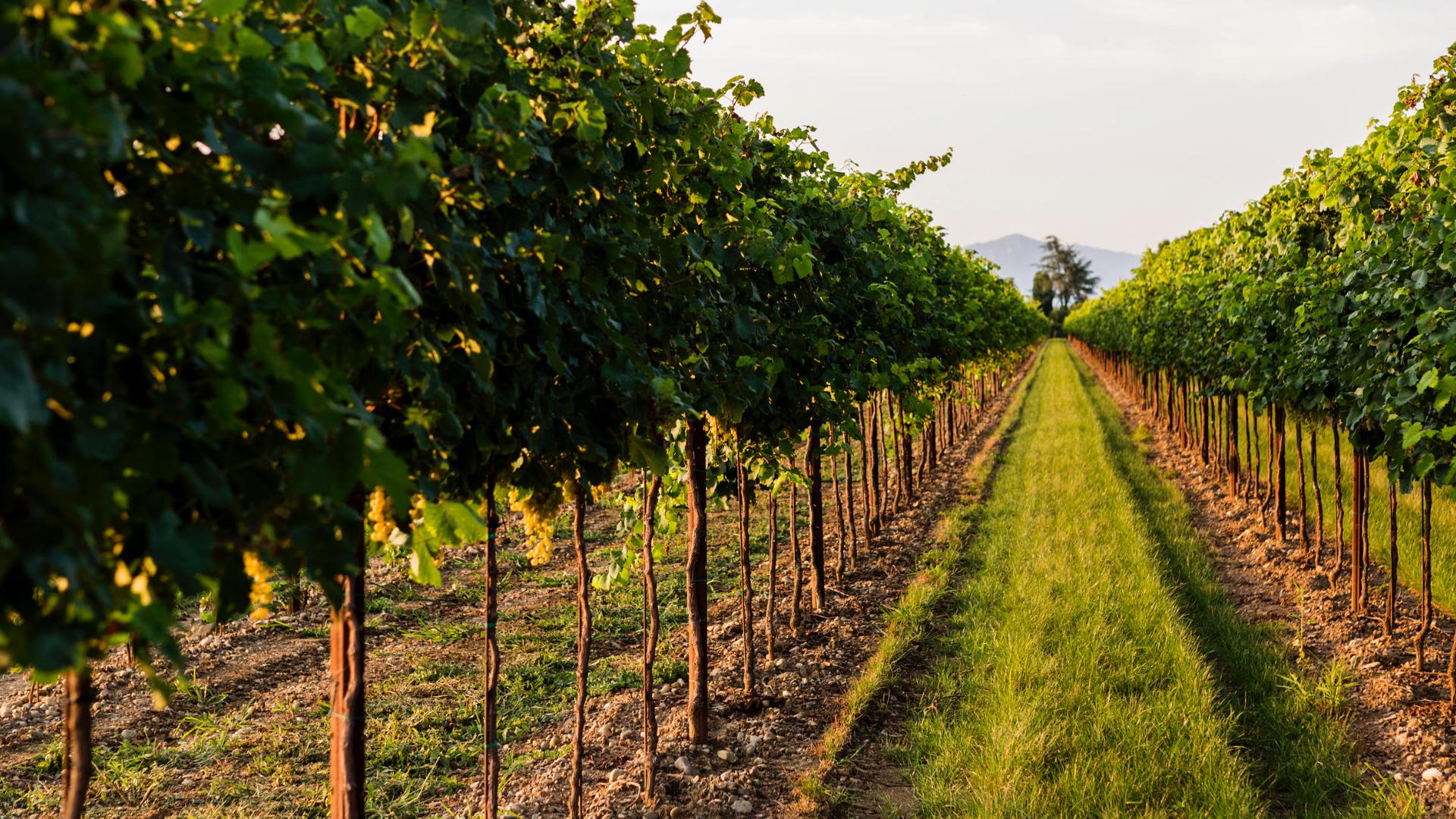 Vendrame vigne del doge